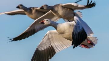Замедленный метаболизм помогает гусям летать на больших высотах