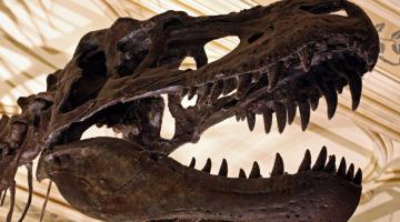 В голове древнего тираннозавра Рекса был своего рода «кондиционер»