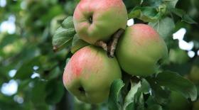 Сахар в яблоках отрегулируют